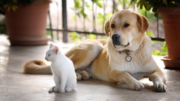 Dog laying next to sitting kitten
